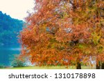 deciduous cypress at winter | Shutterstock . vector #1310178898