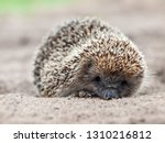 hedgehog close up in natural... | Shutterstock . vector #1310216812