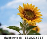 blooming bright sunflower close ... | Shutterstock . vector #1310216815