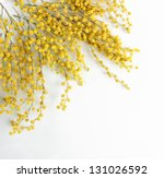Stock photo twigs of mimosa flowers isolated on white 131026592