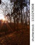 beautiful deciduous trees in... | Shutterstock . vector #1310292808