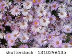 close up of beautiful pink... | Shutterstock . vector #1310296135