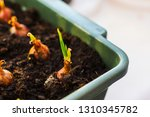 green onion sprout at home | Shutterstock . vector #1310345782