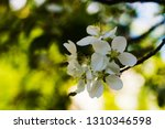 branch of flowering apple tree... | Shutterstock . vector #1310346598