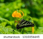 Swallowtail Butterfly On Tiger...