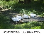 swans are basked in the sun | Shutterstock . vector #1310375992