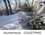 detail of winter frozen pine... | Shutterstock . vector #1310379982