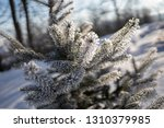 detail of winter frozen pine... | Shutterstock . vector #1310379985