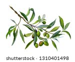 watercolor drawing of olive... | Shutterstock . vector #1310401498