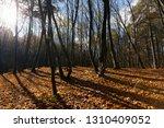 bare trees growing in autumn... | Shutterstock . vector #1310409052