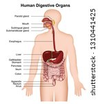 the human digestive system ... | Shutterstock .eps vector #1310441425