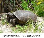 Gopher Tortoise Turtle.