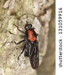 Small photo of Soldier fly, Clitellaria ephippium, Stratiomyidae on wood, macro photo