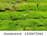 moss on the wall that thrives... | Shutterstock . vector #1310672462