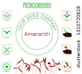 microgreens red amaranth. seed... | Shutterstock .eps vector #1310720828