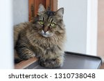 long haired siberian cat of... | Shutterstock . vector #1310738048