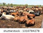 cattle at a feedlot .feedlot...   Shutterstock . vector #1310784278