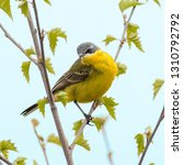 the yellow wagtail. the moscow... | Shutterstock . vector #1310792792