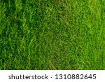 the natural texture of thuja... | Shutterstock . vector #1310882645