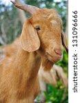 Goat in the farm - stock photo