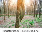 rubber tree plantation on rows... | Shutterstock . vector #1311046172