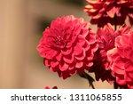 close up of a purple ball... | Shutterstock . vector #1311065855