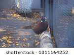 Photo Of A Colored Pheasant In...