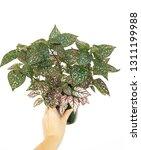 hypoestes   polka dot plant  on ... | Shutterstock . vector #1311199988