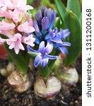 hyacinth  hyacinthus orientalis ... | Shutterstock . vector #1311200168