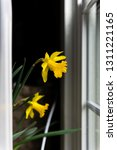 Two Yellow Daffodil Flowers...
