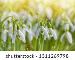 spring snowdrops flower. early... | Shutterstock . vector #1311269798