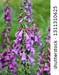 foxglove excelsior hybrids  ... | Shutterstock . vector #1311310625