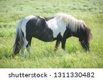 pony on a meadow | Shutterstock . vector #1311330482