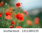 wild red poppies close up in... | Shutterstock . vector #1311384155