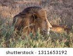 an aging serengeti lion rests...   Shutterstock . vector #1311653192