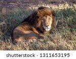 an aging serengeti lion rests...   Shutterstock . vector #1311653195