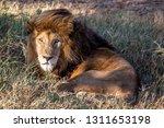 an aging serengeti lion rests...   Shutterstock . vector #1311653198