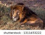 an aging serengeti lion rests...   Shutterstock . vector #1311653222