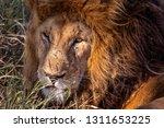 an aging serengeti lion rests...   Shutterstock . vector #1311653225
