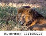 an aging serengeti lion rests...   Shutterstock . vector #1311653228