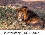 an aging serengeti lion rests... | Shutterstock . vector #1311653252