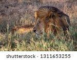an aging serengeti lion rests... | Shutterstock . vector #1311653255