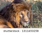 an aging serengeti lion rests... | Shutterstock . vector #1311653258