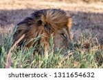 a majestic lion contemplates... | Shutterstock . vector #1311654632