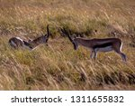 young antelopes practice...   Shutterstock . vector #1311655832