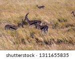 young antelopes practice...   Shutterstock . vector #1311655835