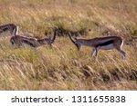 young antelopes practice...   Shutterstock . vector #1311655838