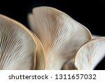 oyster mushroom on a dark... | Shutterstock . vector #1311657032