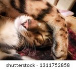 Stock photo sleeping bengal kitten contrast and bright photo 1311752858