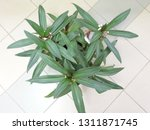 potted plants on the ceramic...   Shutterstock . vector #1311871745